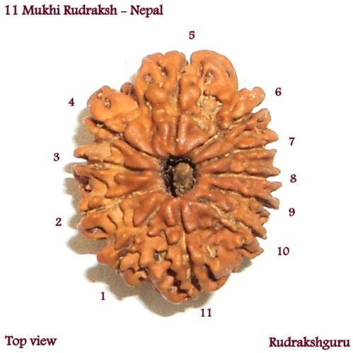 11 Mukhi Beads
