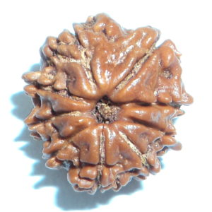 Nine Face Rudraksha Of Nepal - Lab Certified